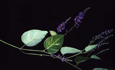 APII jpeg image of Hardenbergia 'Sweet Heart'  © contact APII