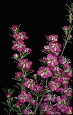 APII jpeg image of Leptospermum 'Tickled Pink'  © contact APII