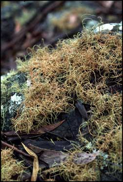 APII jpeg image of Usnea rubicunda  © contact APII