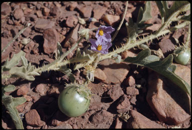 APII jpeg image of Solanum chippendalei  © contact APII