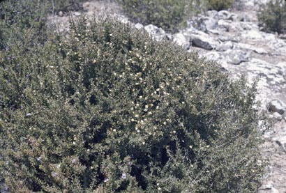 APII jpeg image of Scaevola bursariifolia  © contact APII