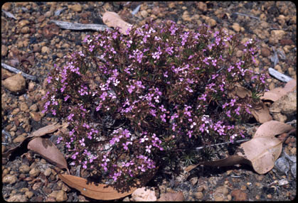 APII jpeg image of Stylidium lepidum  © contact APII