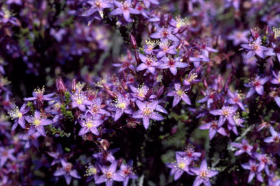 APII jpeg image of Calytrix leschenaultii  © contact APII