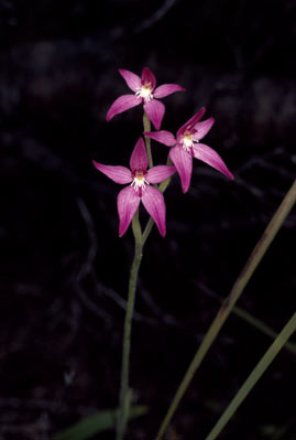 APII jpeg image of Caladenia elongata  © contact APII