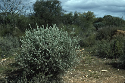 APII jpeg image of Eremophila youngii subsp. youngii  © contact APII