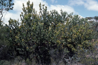 APII jpeg image of Banksia lemanniana  © contact APII
