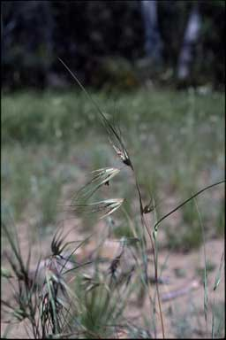 APII jpeg image of Themeda triandra  © contact APII