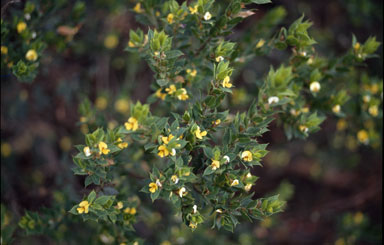APII jpeg image of Pultenaea villifera  © contact APII