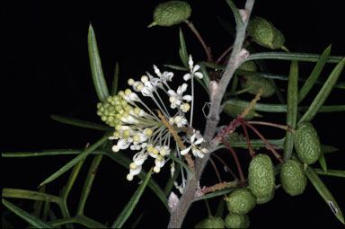 APII jpeg image of Grevillea triloba  © contact APII
