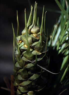 APII jpeg image of Macrozamia mountperriensis  © contact APII