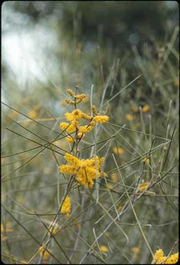 APII jpeg image of Acacia burkittii  © contact APII