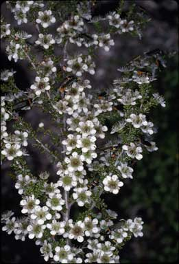 APII jpeg image of Baeckea imbricata  © contact APII