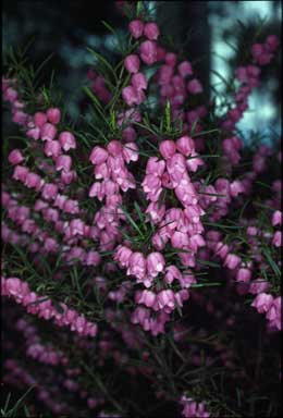 APII jpeg image of Boronia heterophylla  © contact APII