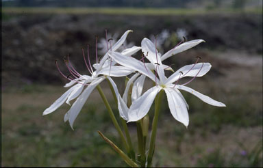 APII jpeg image of Crinum brisbanicum  © contact APII