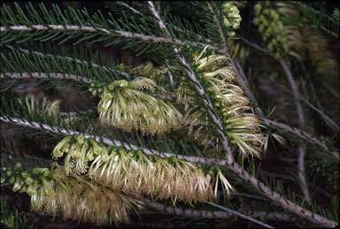APII jpeg image of Calothamnus quadrifidus  © contact APII