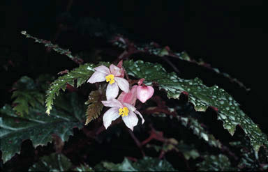 APII jpeg image of Begonia serratipetala  © contact APII