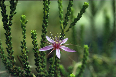APII jpeg image of Calytrix desolata  © contact APII