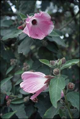 APII jpeg image of Hibiscus splendens  © contact APII