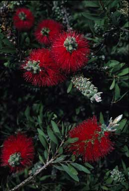 APII jpeg image of Callistemon citrinus  © contact APII