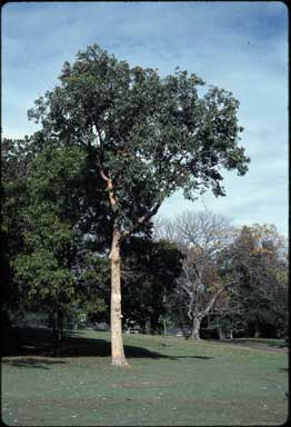 APII jpeg image of Corymbia watsoniana  © contact APII