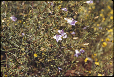APII jpeg image of Eremophila goodwinii  © contact APII