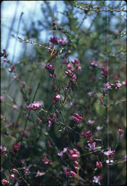 APII jpeg image of Boronia nematophylla  © contact APII