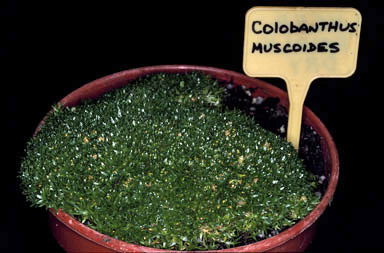 APII jpeg image of Colobanthus muscoides  © contact APII