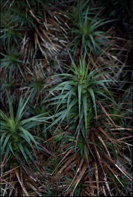 APII jpeg image of Richea curtisiae  © contact APII
