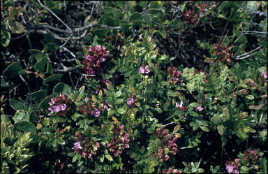 APII jpeg image of Boronia alata  © contact APII