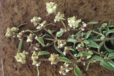 APII jpeg image of Dicrastylis gilesii  © contact APII