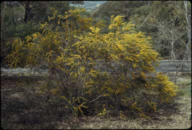 APII jpeg image of Acacia montana  © contact APII