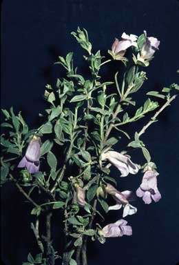 APII jpeg image of Eremophila margarethae  © contact APII