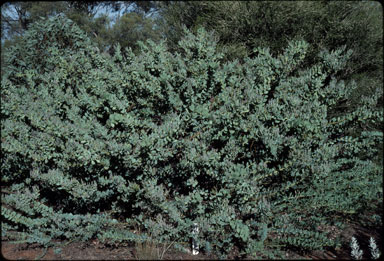 APII jpeg image of Acacia anceps  © contact APII