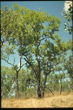 APII jpeg image of Corymbia papillosa  © contact APII