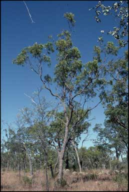 APII jpeg image of Corymbia stockeri  © contact APII