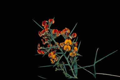 APII jpeg image of Daviesia horrida  © contact APII