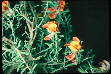 APII jpeg image of Pultenaea largiflorens  © contact APII