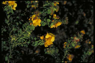 APII jpeg image of Pultenaea ferruginea  © contact APII
