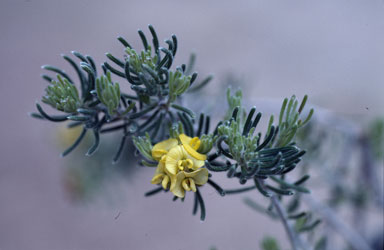APII jpeg image of Dillwynia divaricata  © contact APII