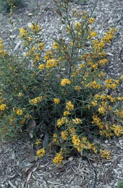 APII jpeg image of Oxylobium arborescens  © contact APII