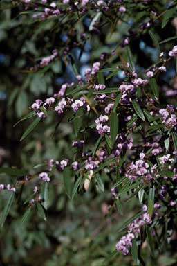 APII jpeg image of Hovea acutifolia  © contact APII