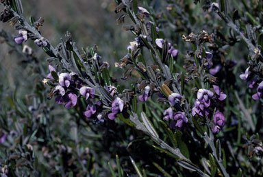 APII jpeg image of Hovea montana  © contact APII