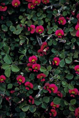 APII jpeg image of Kennedia carinata  © contact APII