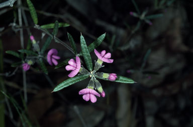 APII jpeg image of Mirbelia rubiifolia  © contact APII