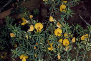 APII jpeg image of Pultenaea villosa 'Wallum Gold'  © contact APII