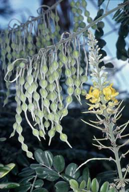 APII jpeg image of Sophora tomentosa  © contact APII