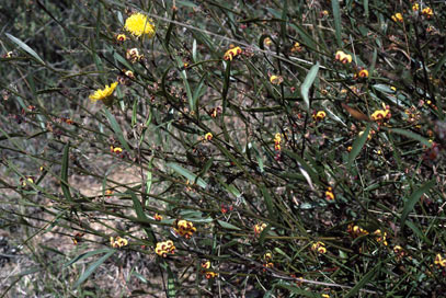 APII jpeg image of Daviesia alata x latifolia  © contact APII