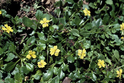 APII jpeg image of Goodenia hederacea  © contact APII