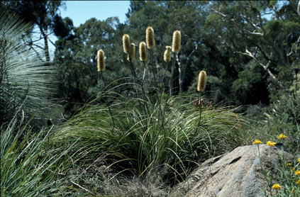 APII jpeg image of Xanthorrhoea macronema  © contact APII
