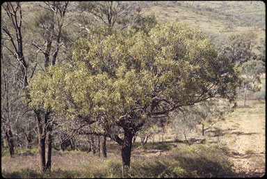 APII jpeg image of Santalum acuminatum  © contact APII